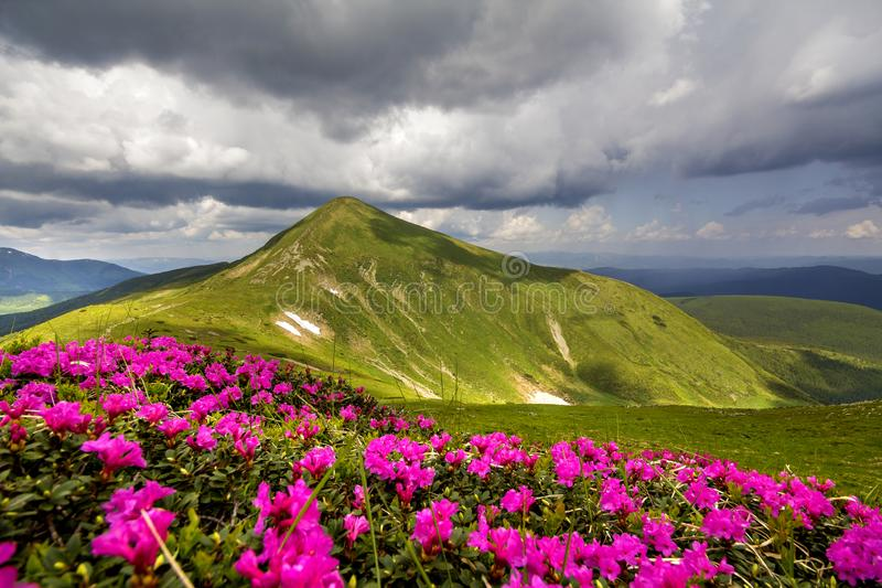 Mountain spring panorama with blooming rhododendron rue flowers and patches of snow under blue cloudy sky royalty free stock image