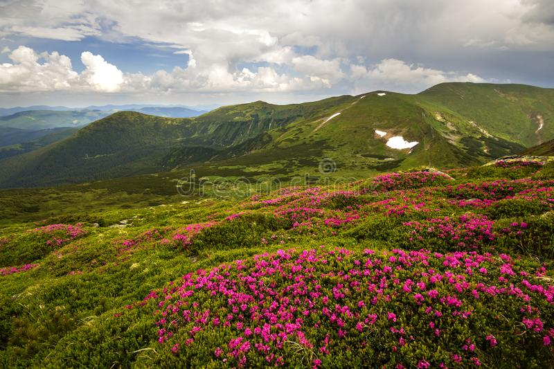 Mountain spring panorama with blooming rhododendron rue flowers and patches of snow under blue cloudy sky.  royalty free stock photography