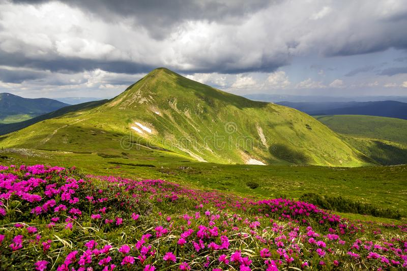Mountain spring panorama with blooming rhododendron rue flowers and patches of snow under blue cloudy sky stock photography