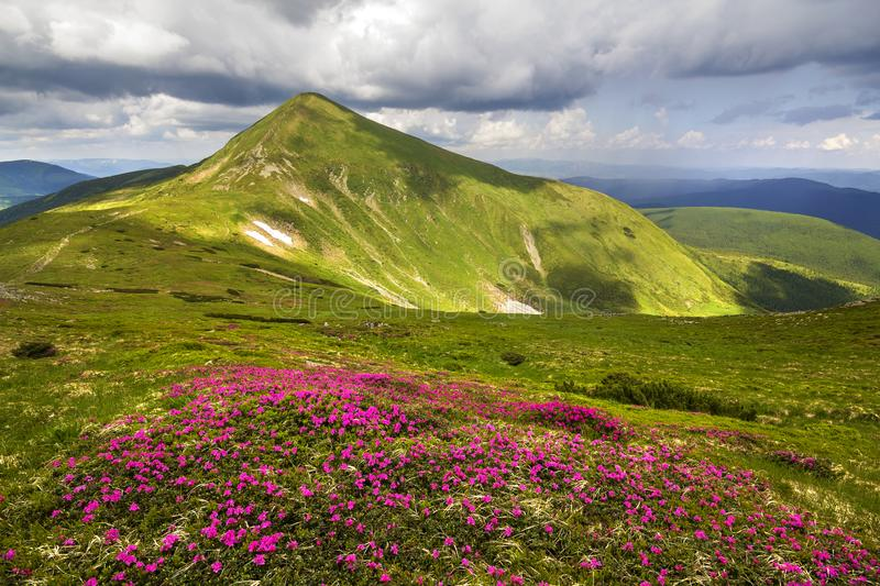 Mountain spring panorama with blooming rhododendron rue flowers and patches of snow under blue cloudy sky stock image