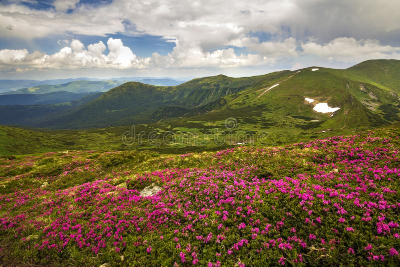 Mountain spring panorama with blooming rhododendron rue flowers and patches of snow under blue cloudy sky royalty free stock photography