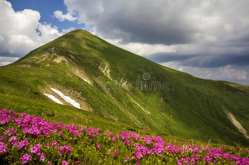 Mountain spring panorama with blooming rhododendron rue flowers and patches of snow under blue cloudy sky.  stock photo