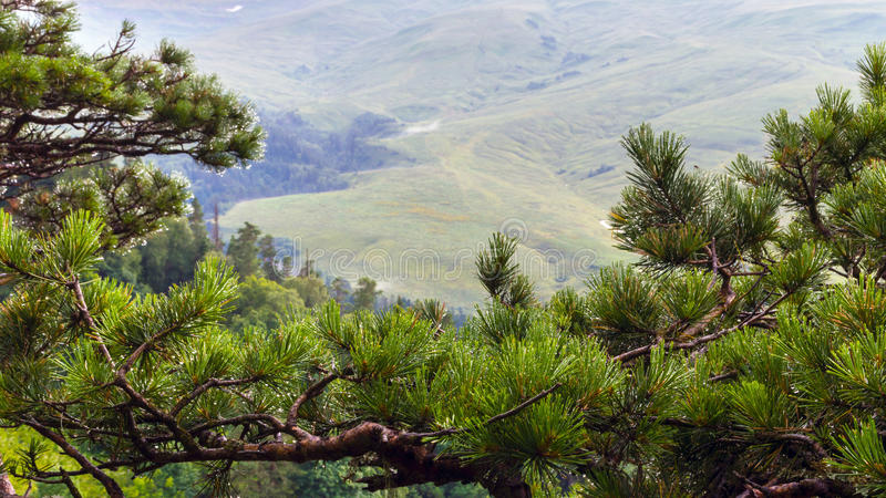 Mountain spruce in the foreground stock image