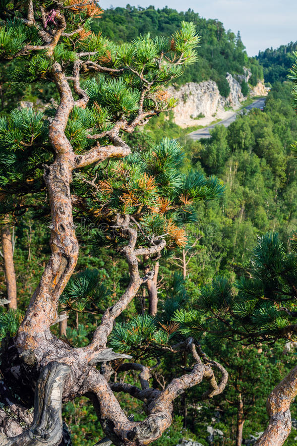 Mountain spruce in the foreground royalty free stock photo