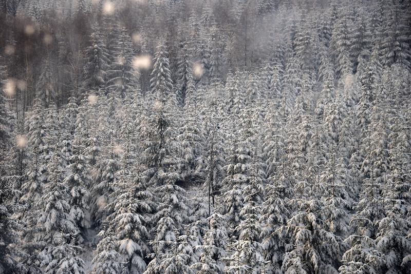 Mountain spruce forest in snowfall. Northern slope of Jizera Mountains, Poland stock photo