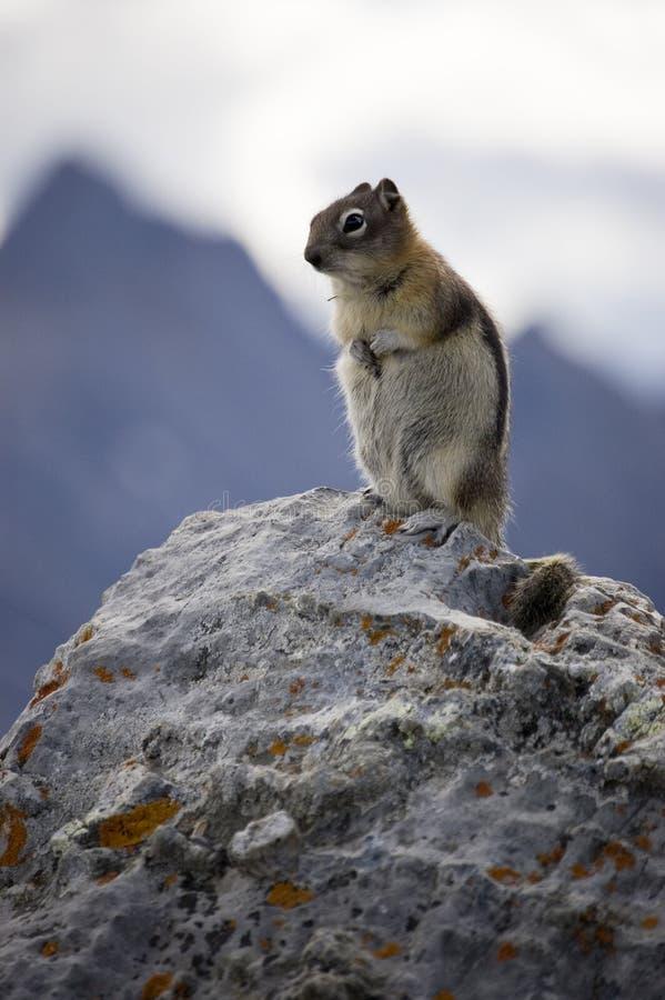 Free Mountain Squirrel Royalty Free Stock Image - 3775016