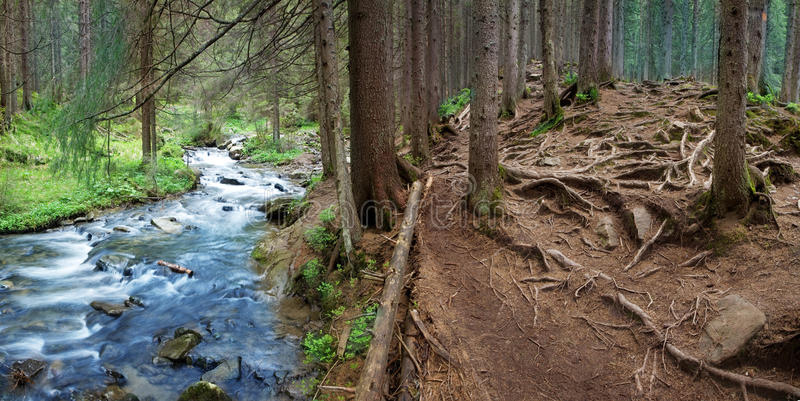 Mountain stream. In the pine forest stock photography