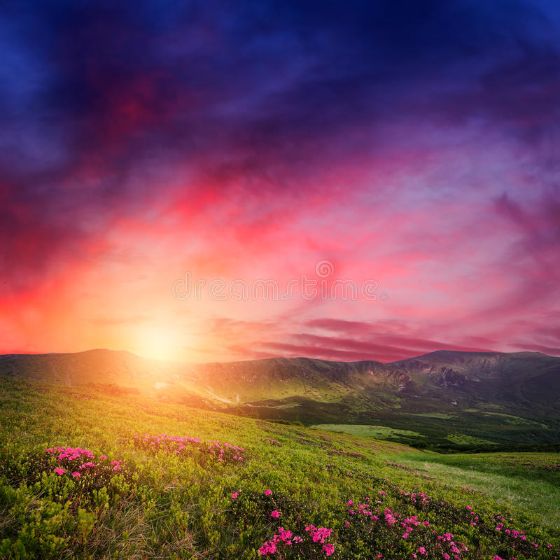 Mountain sunset with rhododendron flowers in grass royalty free stock photo