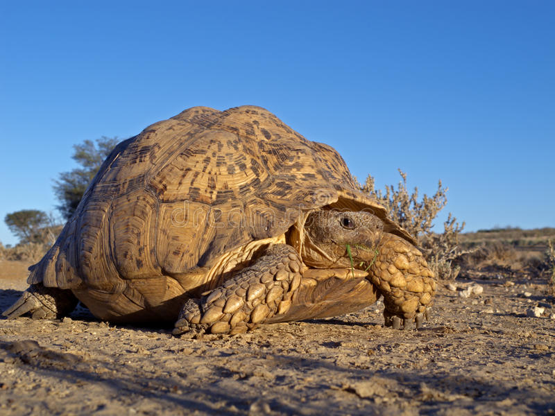 Mountain tortoise. Mountain or leopard tortoise (Geochelone pardalis), Kalahari desert, South Africa stock photography
