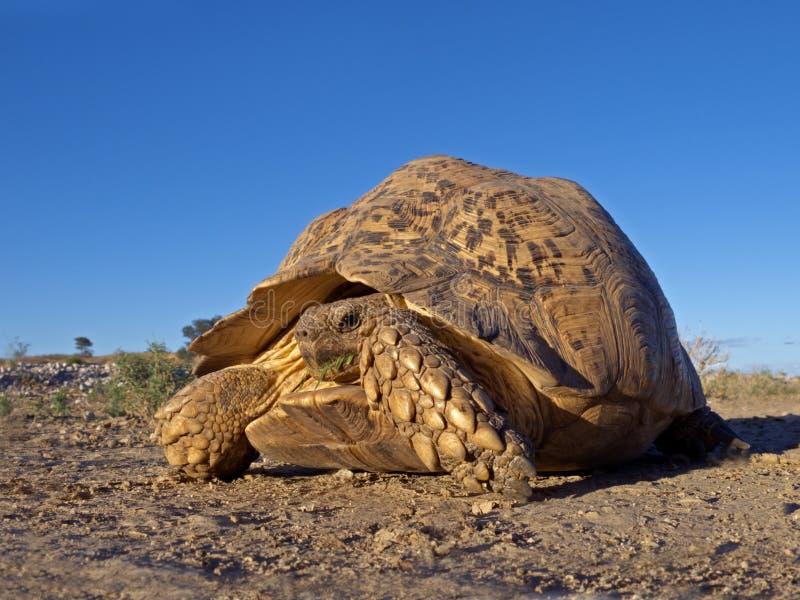 Mountain tortoise. Mountain or leopard tortoise (Geochelone pardalis), Kalahari desert, South Africa stock photos