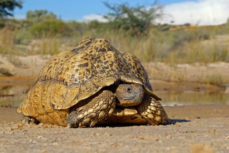 Mountain tortoise royalty free stock photos