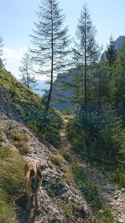 Mountain trail. Mountans path going down through a couple of pine trees stock image