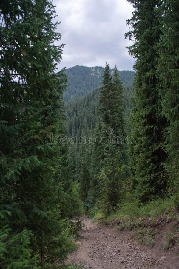 Mountain trail with coniferous forests of fir trees in cloudy weather. Mountain trail path way with coniferous forests of fir trees in cloudy weather royalty free stock images
