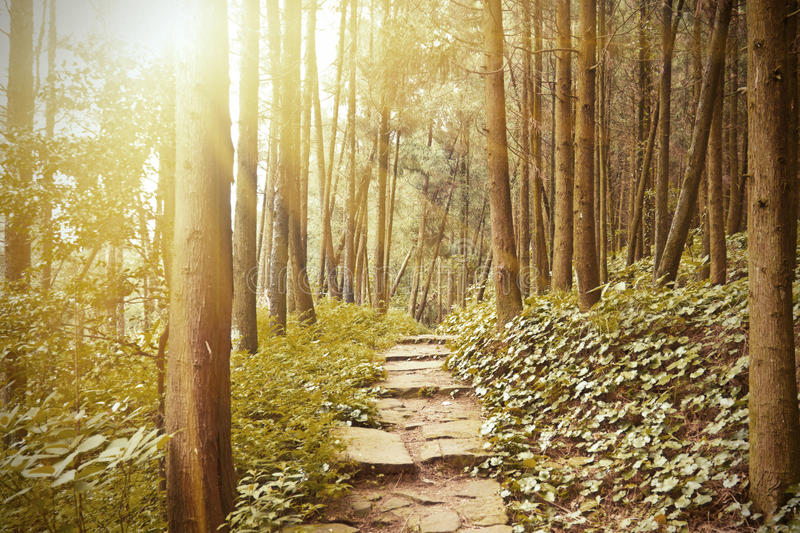 Download Mountain Trail In The Pine  Forest Stock Photo - Image: 20825446