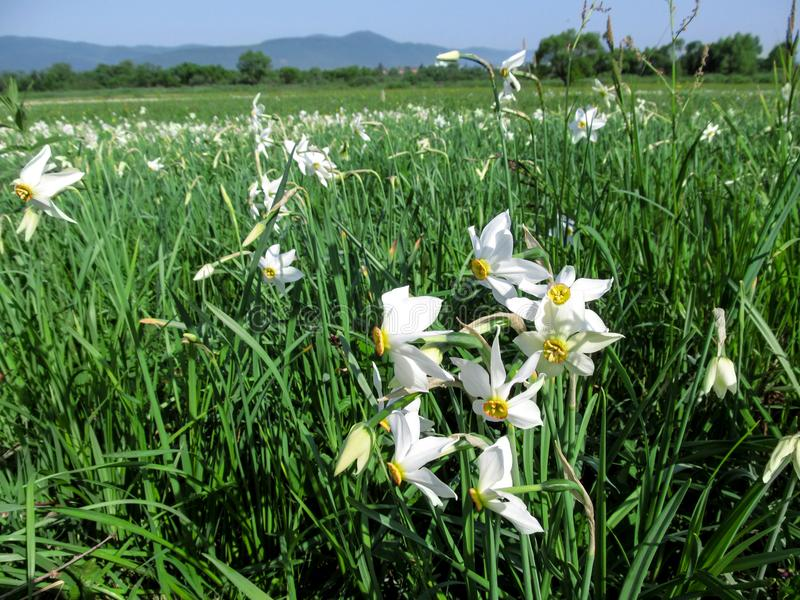 Mountain Valley of the Narcissus in the Carpathians, Ukraine. Field with white poet`s narcissus and green juicy grass on a spring sunny day royalty free stock image