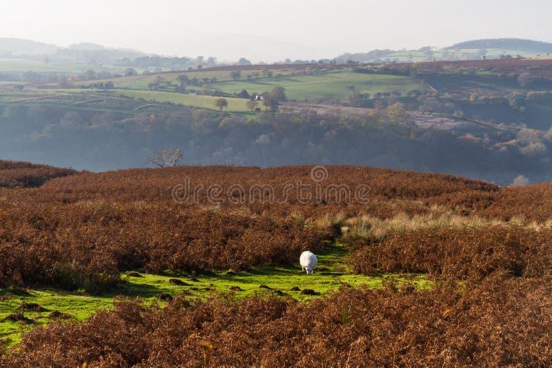 Mountain View nero con le pecore immagine stock
