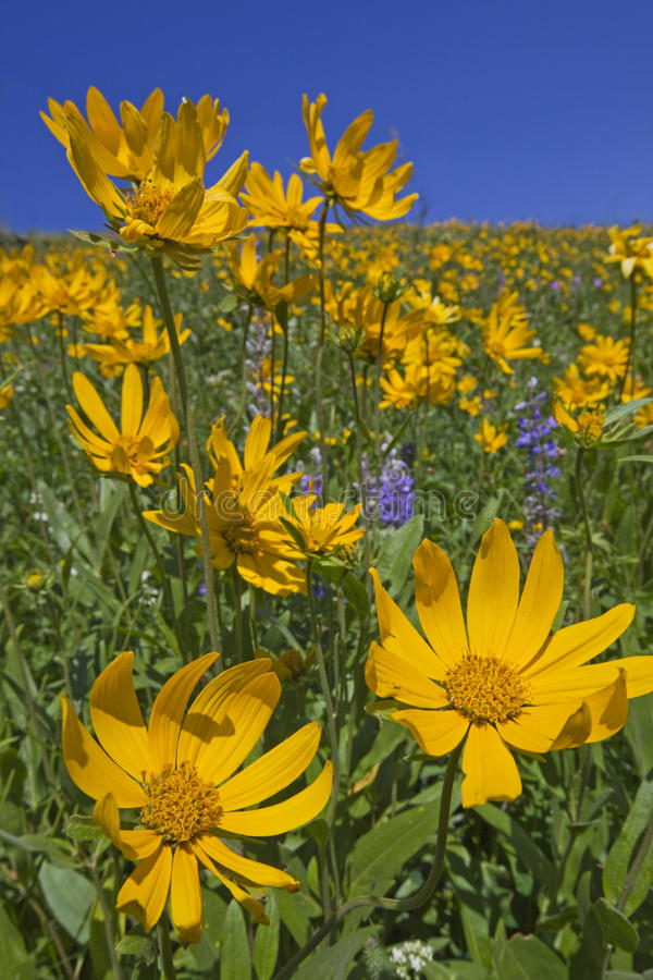 Free Mountain View Of Heartleaf Arnica And Lupine Stock Photo - 12732650