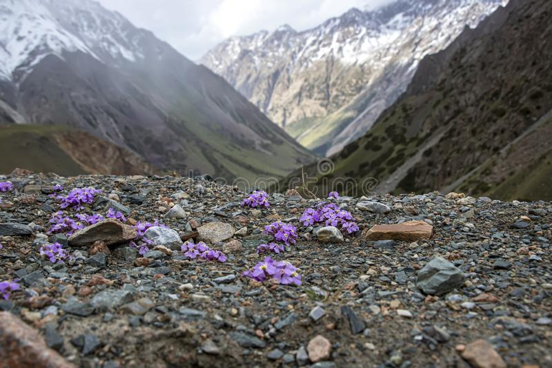 Mountain view with snow-capped peaks through purple flowers on a rocky surface royalty free stock photo