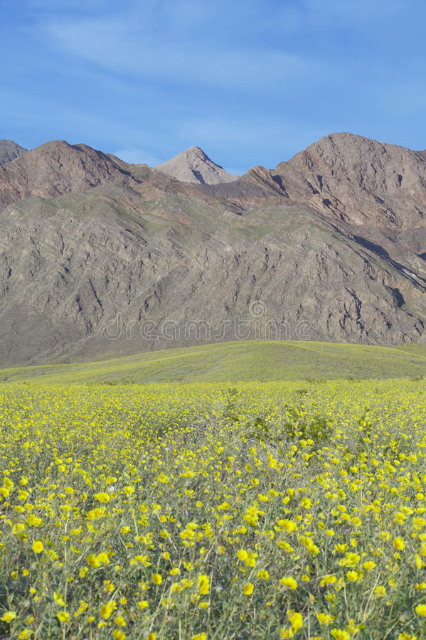 Mountain view and spectacular desert gold and various spring flowers download mountain view and spectacular desert gold and various spring flowers south of furnace creek in mightylinksfo
