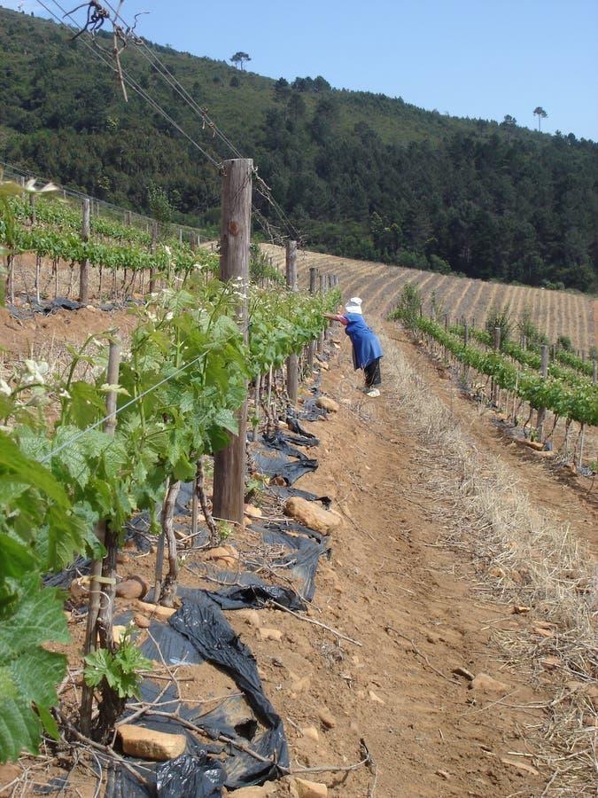 Download Mountain Vineyard stock photo. Image of range, african - 6092362