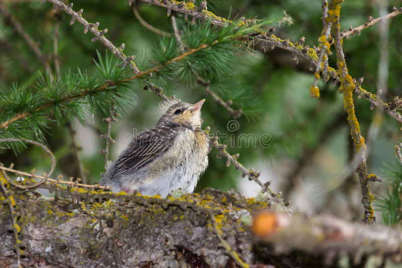 Mountain wildlife. Chick of throstle on a larch. royalty free stock photo
