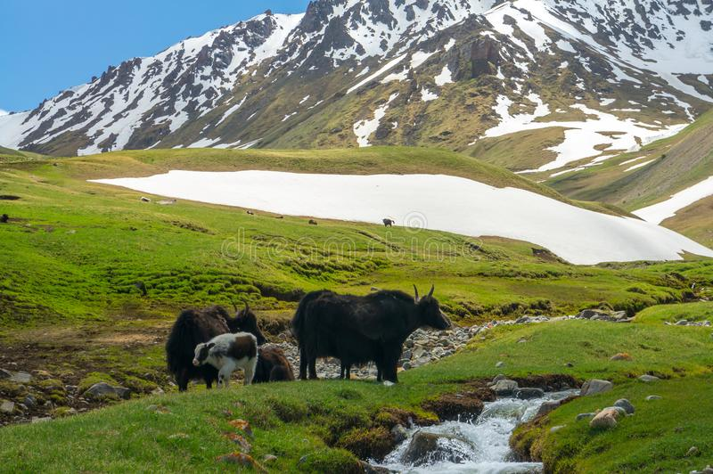 Mountain yaks graze at the creek stock images