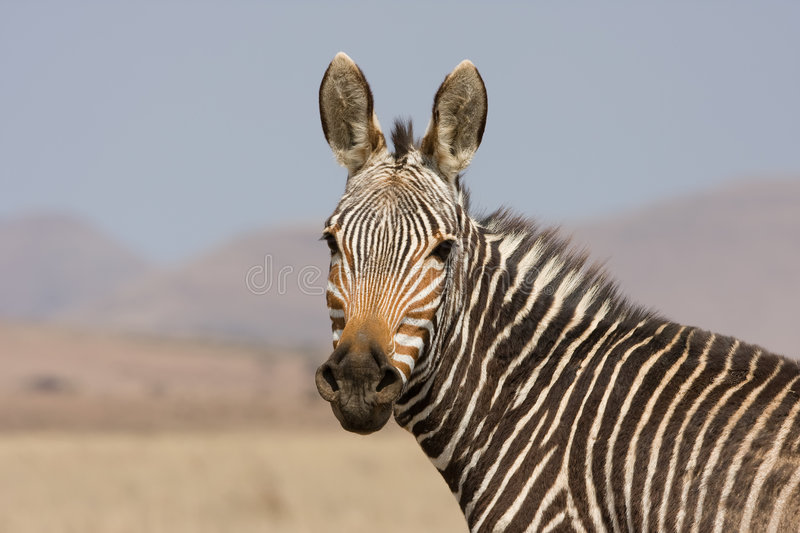 Download Mountain Zebra Royalty Free Stock Images - Image: 3406559