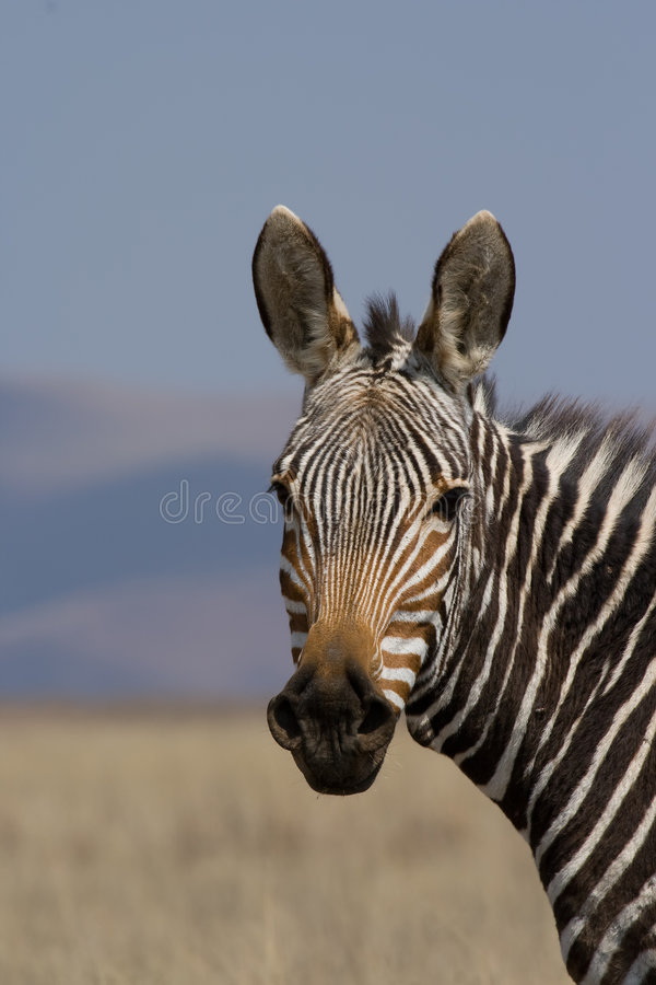 Mountain Zebra stock photo