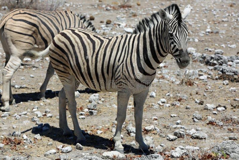 Download Mountain Zebra stock photo. Image of shot, horse, nature - 36197778