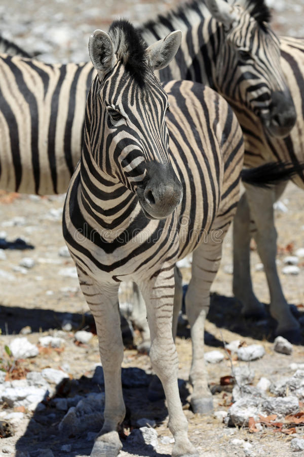Download Mountain Zebra stock image. Image of standing, horse - 36197847