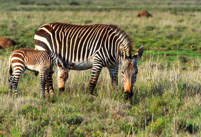 Mountain Zebra mother and foal. In the Eastern Cape, South Africa stock images