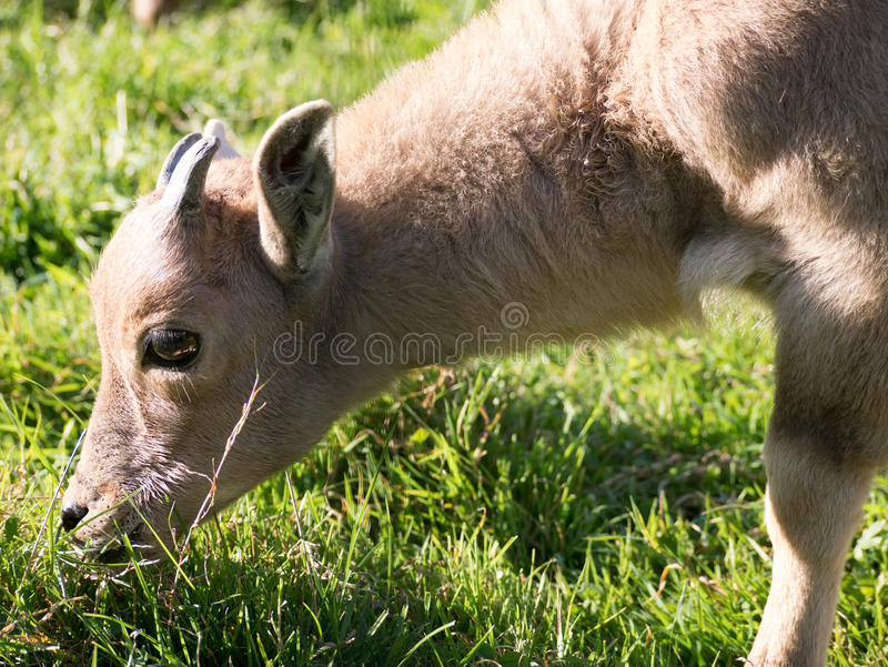 Mountaingoat stock image