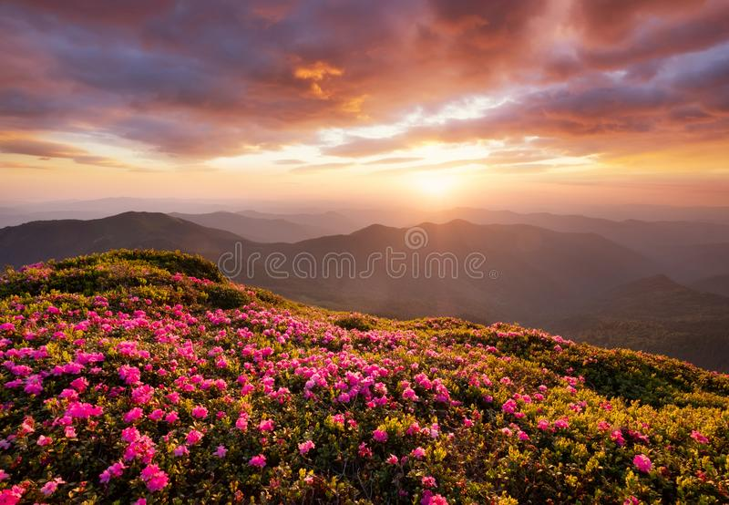 Mountains during flowers blossom and sunrise. Flowers on the mountain hills. Beautiful natural landscape at the summer time royalty free stock photo