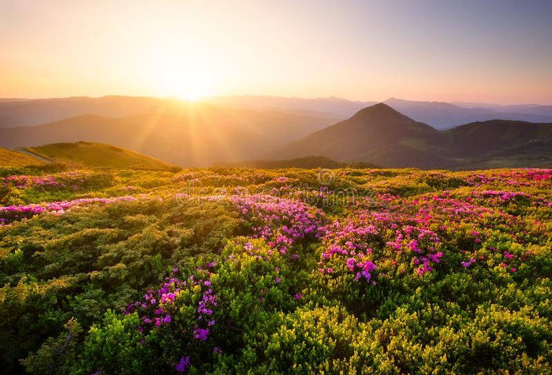 Mountains during flowers blossom and sunrise. Flowers on mountain hills. Natural landscape at the summer time. Mountains range. royalty free stock photos