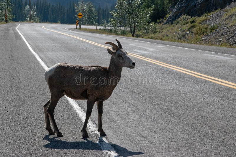 Mountains Goat (oreamnos americanus) also known as the Rocky Mou. Ntain Goat is a large hoofed mammal endemic to North America stock images