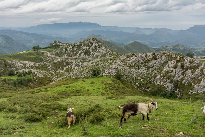 Mountains and goats in the Picos de Europa Asturias, Spain.  stock image