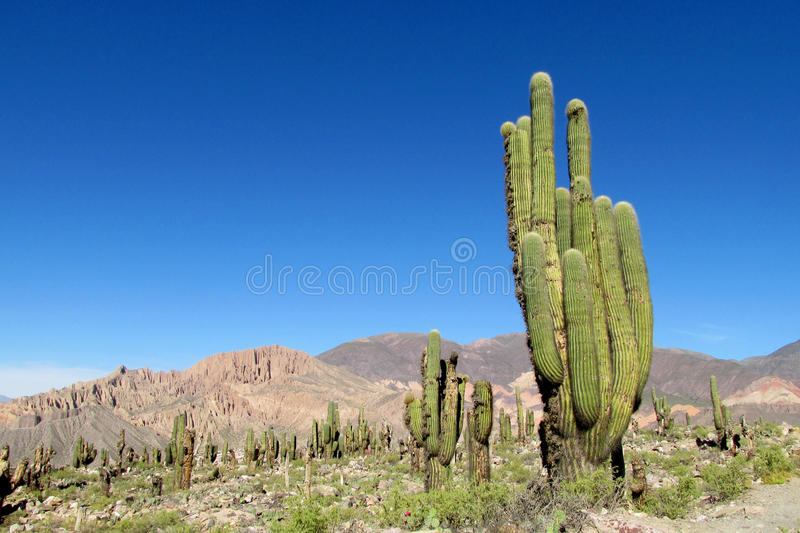 Mountains with huge cactus growing. Mountain valley with huge cactus growing, blue sky in summer stock images