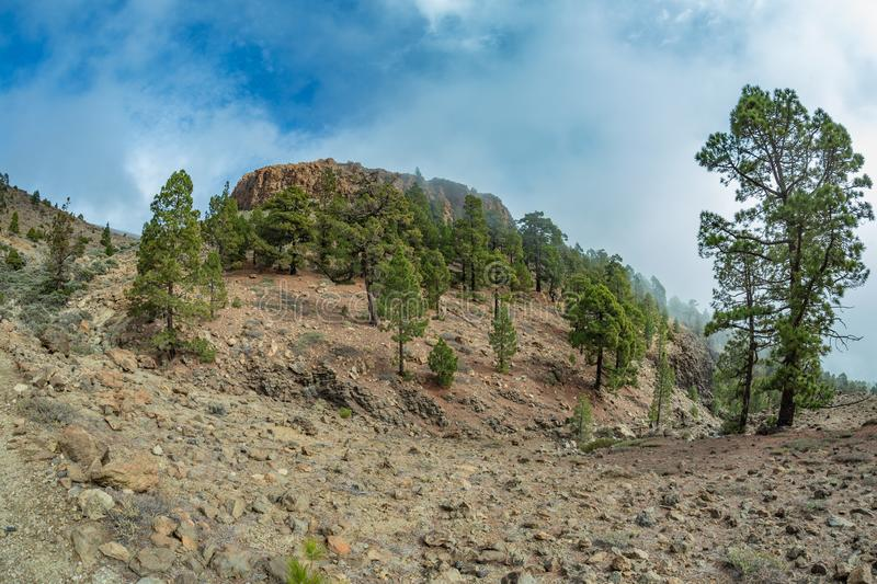 Mountains near Teide National Park. Old pine forest. Curved, gnarled ancient pines, dry fallen tree trunks and branches. Tenerife royalty free stock photo