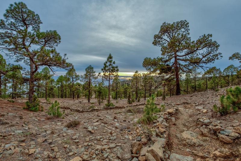 Mountains near Teide National Park. Old pine forest. Curved, gnarled ancient pines, dry fallen tree trunks and branches. Tenerife stock photography