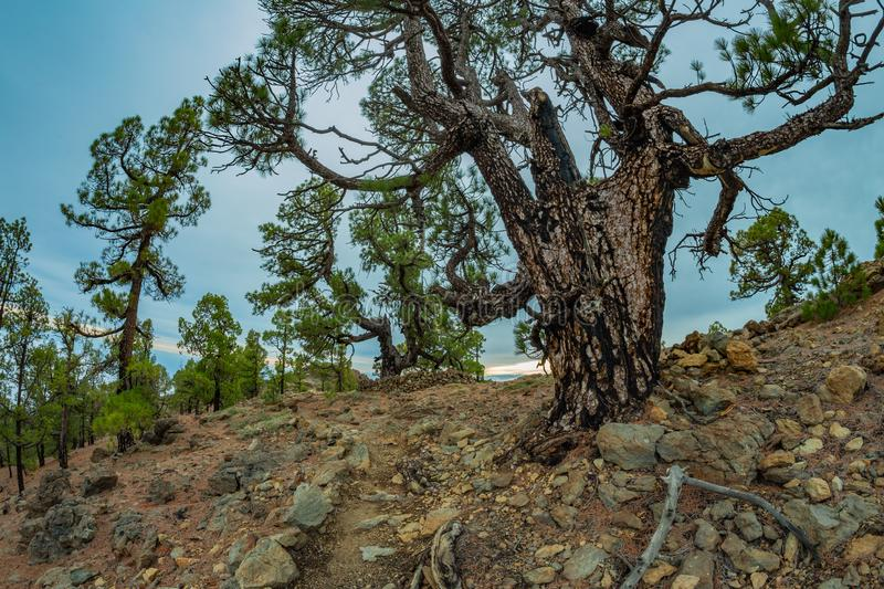 Mountains near Teide National Park. Old pine forest. Curved, gnarled ancient pines, dry fallen tree trunks and branches. Tenerife royalty free stock photos