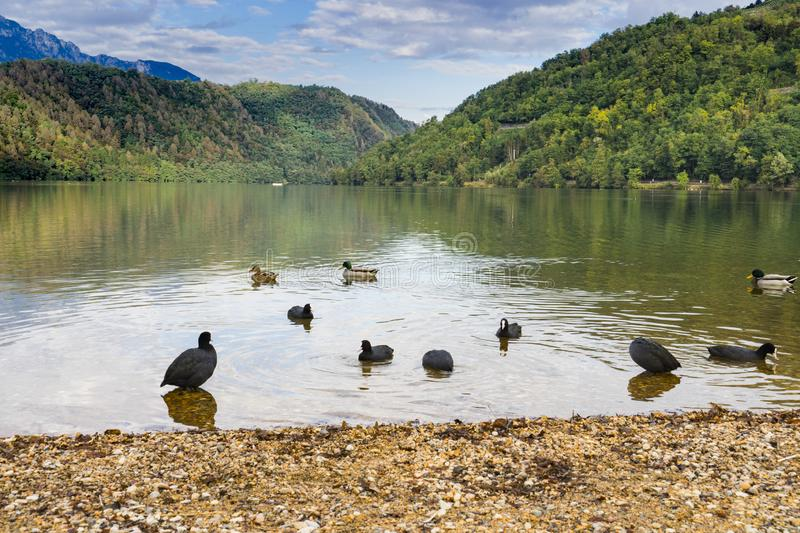Ducks in Lago di Levico, Lake in Levico Terme, Italy. Mountains and trees along water of spa town Levico Terme, Italy, Europe. reflection in water, Ducks in lake stock photography