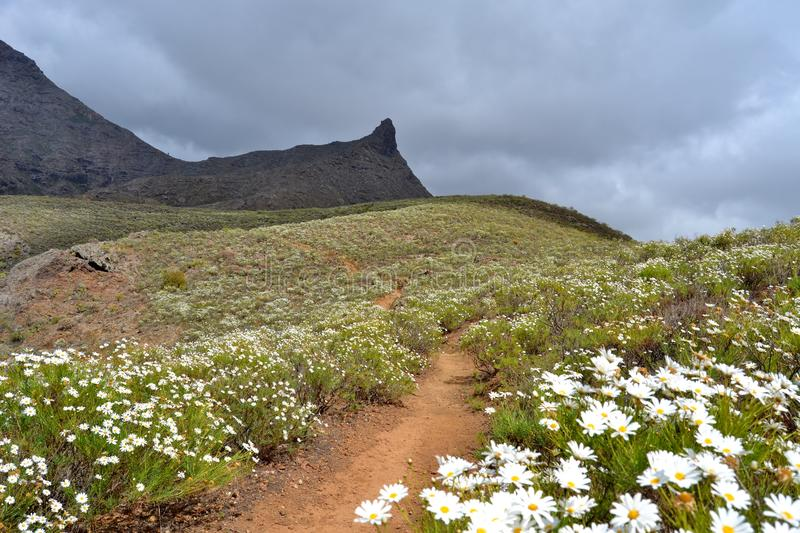 Mountainside covered with marguerites. A mountainside on the southern coast of the Canary island Tenerife covered in white and yellow marguerites stock images