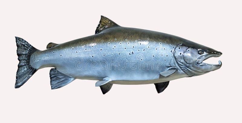 Mounted Atlantic Salmon royalty free stock photography