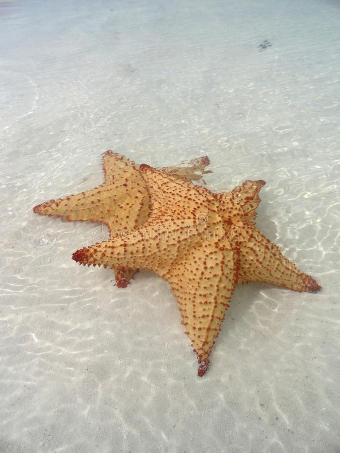 Mounted Starfishes Royalty Free Stock Photo