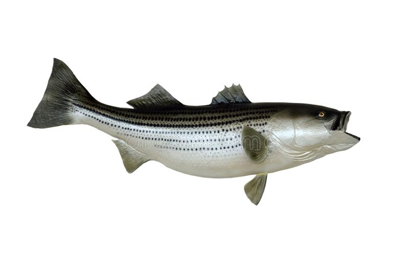 Mounted Striped Bass fish. Side view of a wall mounted saltwater stripe bass fish on a white studio background royalty free stock photos