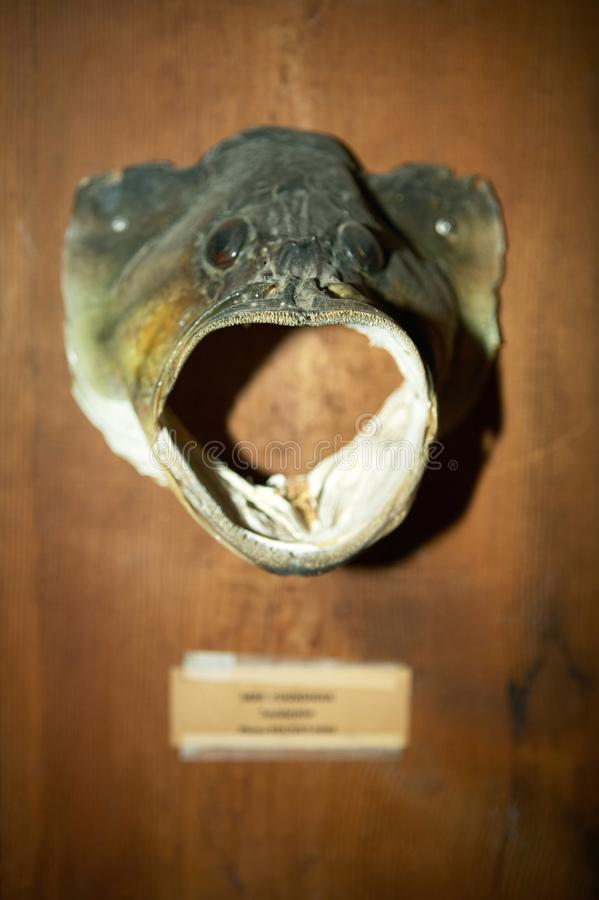 Mounted trophy large mouth bass fish head. Close up of a large mouth bass fish head mounted as a trophy on a timber block royalty free stock image