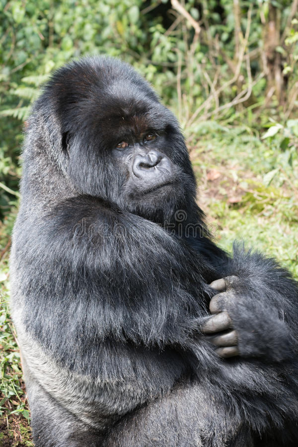 Mountian Gorilla with an attitude. This silverback looks serious and has a clear message don`t mess with me stock image