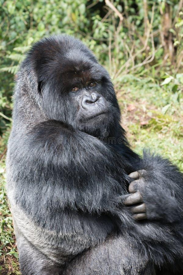 Mountian-Gorilla mit einer Haltung stockbild