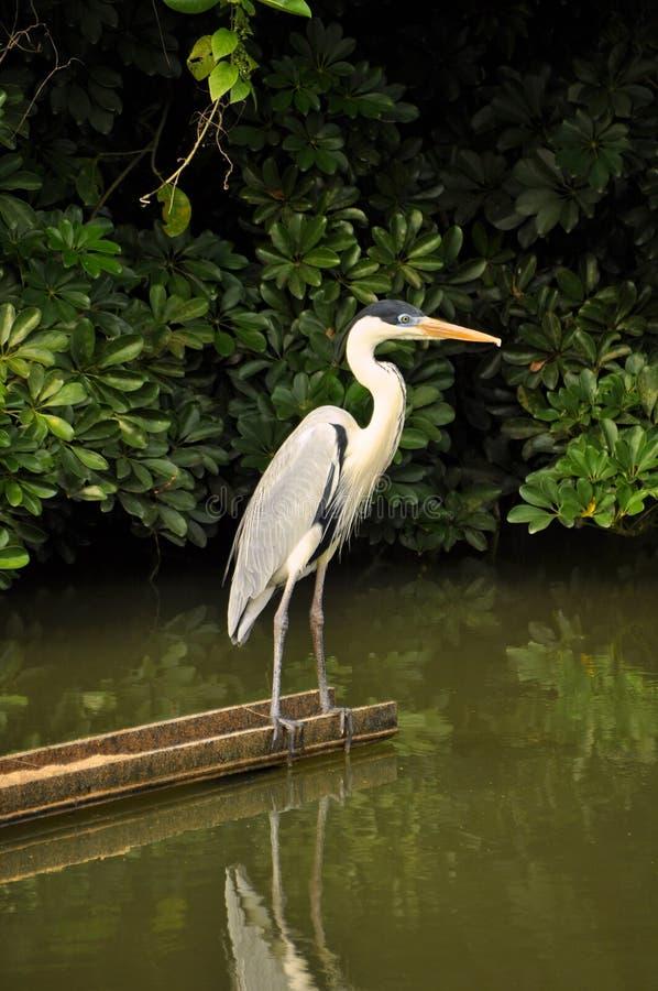 Moura czapla patrzeje mangrowe w lesie fotografia royalty free