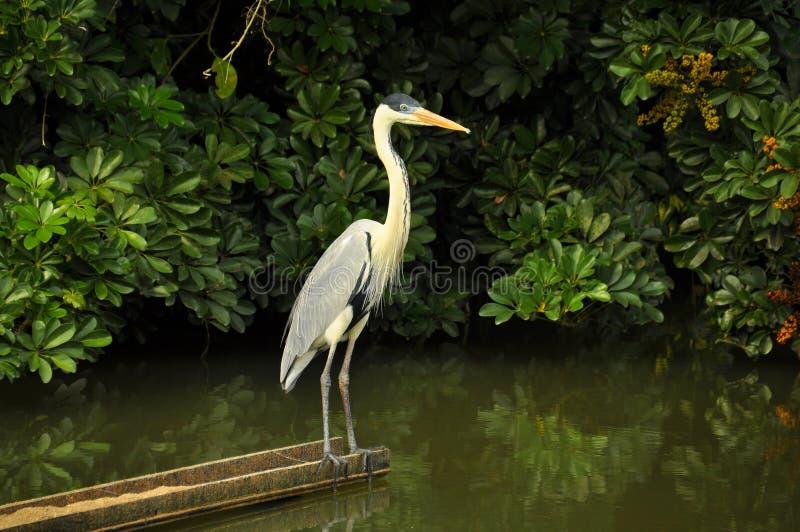 Moura czapla patrzeje mangrowe w lesie obraz royalty free